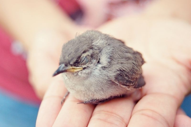 Orphaned birds to be cuddled